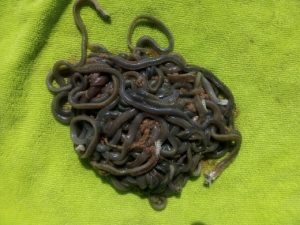 Preserving Live Beach Worms – Duff's Salamander Bay Bait